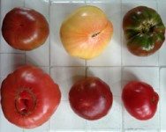 Growing Tomatoes for Market